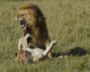 Accoppiamento leoni