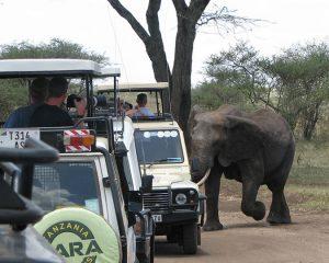 Charging-Elephant