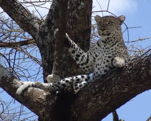 Leopard-in-Serengeti