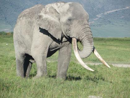 elephant-ngorongoro2