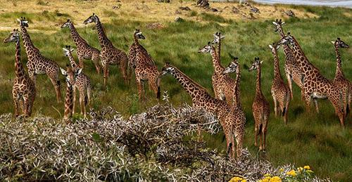 Giraffes_Arusha_Tanzania