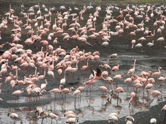 Arusha-National-Park-Flamingo