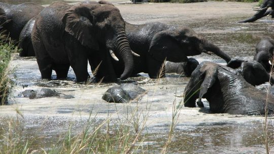 Elephant-Swiming