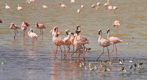 Lake-Eyasi-flamingos3