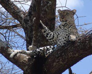 Leopard-in-Serengeti