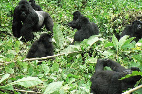 Rwanda-Gorila