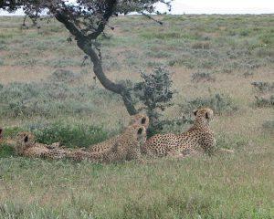 Serengeti-Cheetah